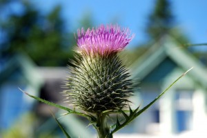 Highland thistle in the garden